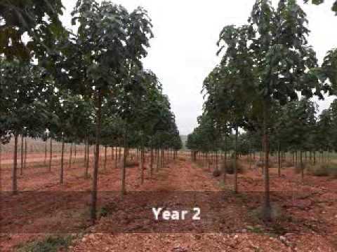 The Advantages Of Paulownia Trees