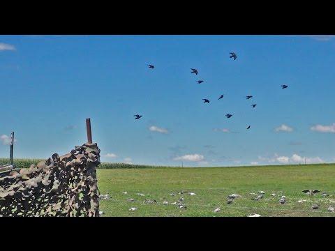 Pigeon Hunting- Best Decoying Minnesota Pigeon Hunt