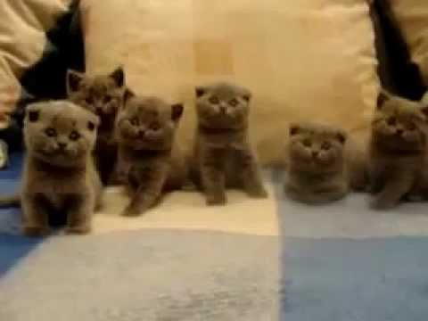 Watch 'Cute Scottish Fold Kittens'