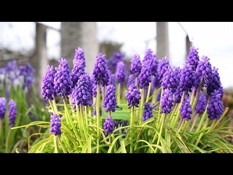 Blumenzwiebeln pflanzen - Dehner Ratgeber