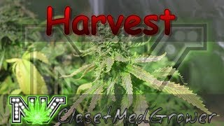 Harvest: Malibu Pie day 54-57 by  NVClosetMedGrower