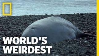 World's Weirdest - Baby Beluga Beached