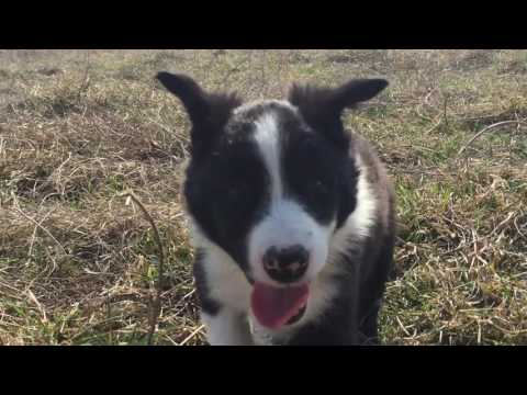 Border Collie Puppy Panda