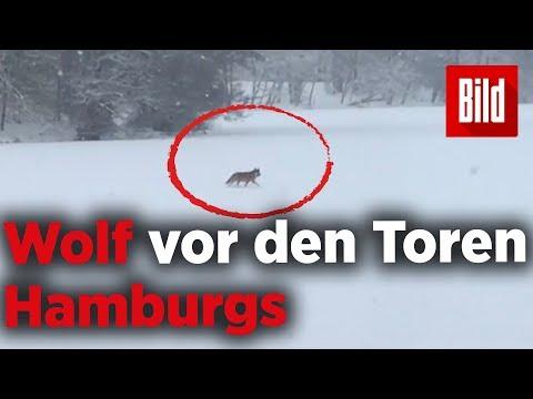 Kreis Stormarn: Spaziert ein Wolf über den Lütjense ...