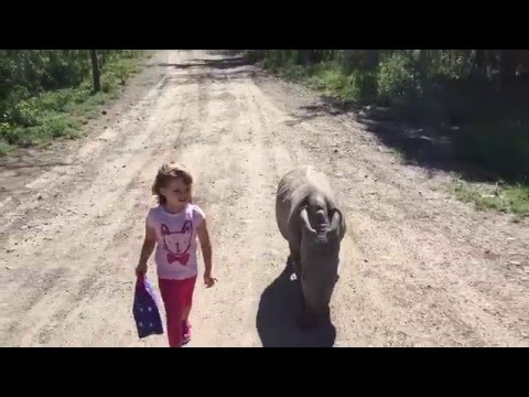 Ringo The Baby Rhino Walks A Friend To School