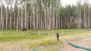 Zatrzymał się w lesie, żeby popatrzeć na łosia. Kiedy usłyszał pisk, zrozumiał, że musi działać szybko.