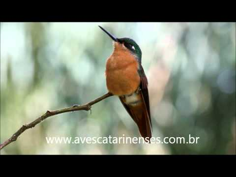 Beija-flor-rubi - Cristiano Voitina