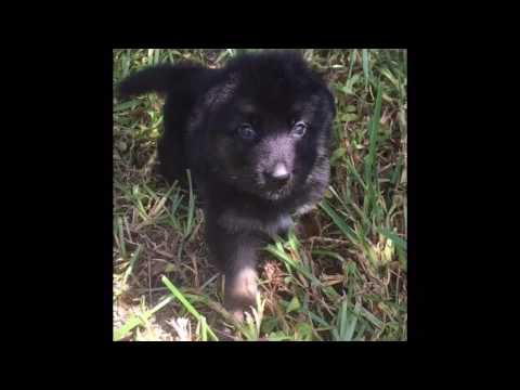 Video of Ronny the AKC German Shepherd puppy