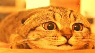 Video 12 cats Most Expensive MP3, 3GP, MP4, WEBM, AVI, FLV Juni 2017