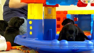 """It costs $50,000 to train a guide dog for the blind, whether they graduate from the program or not. One nonprofit is now using IBM's Watson to better predict which puppies are up to the task. Don Dahler reports.Subscribe to the """"CBS Evening News"""" Channel HERE: http://bit.ly/1S7DhikWatch Full Episodes of the """"CBS Evening News"""" HERE: http://cbsn.ws/23XekKAWatch the latest installment of """"On the Road,"""" only on the """"CBS Evening News,"""" HERE: http://cbsn.ws/23XwqMHFollow """"CBS Evening News"""" on Instagram: http://bit.ly/1T8icTOLike """"CBS Evening News"""" on Facebook HERE: http://on.fb.me/1KxYobbFollow the """"CBS Evening News"""" on Twitter HERE: http://bit.ly/1O3dTTeFollow the """"CBS Evening News"""" on Google+ HERE: http://bit.ly/1Qs0aamGet your news on the go! Download CBS News mobile apps HERE: http://cbsn.ws/1Xb1WC8Get new episodes of shows you love across devices the next day, stream local news live, and watch full seasons of CBS fan favorites anytime, anywhere with CBS All Access. Try it free! http://bit.ly/1OQA29B---The """"CBS Evening News"""" premiered as a half-hour broadcast on Sept. 2, 1963. Check local listings for CBS Evening News broadcast times."""