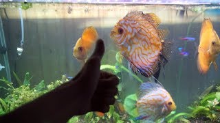 DISCUS FISH EATING!! by  Challenge the Wild