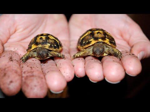 他覺得這顆陸龜的蛋外貌有點奇怪,打開後竟然發現一對可愛到炸裂的雙胞胎!