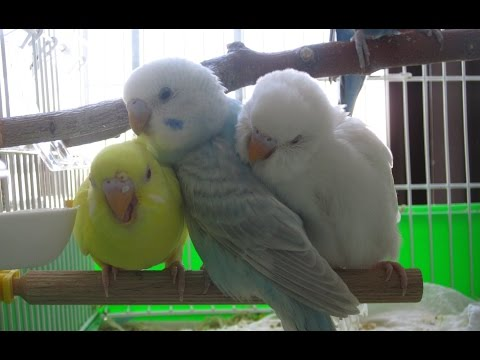 How To Breed Budgies Step By Step