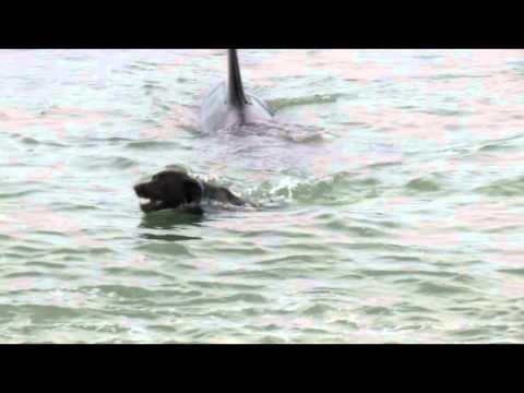 Orcas y Perro nadando juntos!