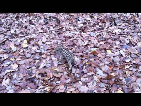 森の中で凶暴なイノシシに襲われる男