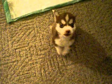 "Husky Pup..possibly World's Smallest?"" Remmy"" 8 Wk Old Husky Pup Sits And Speaks On Command."