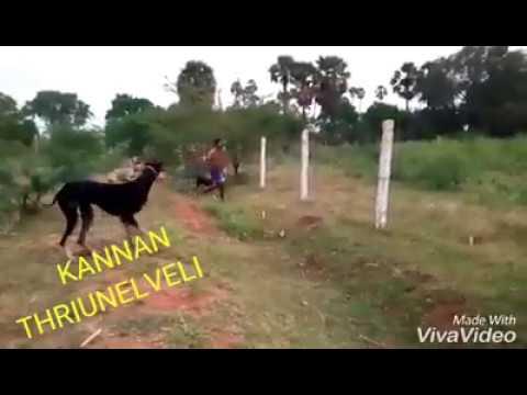 Video Kanni dog download in MP3, 3GP, MP4, WEBM, AVI, FLV January 2017