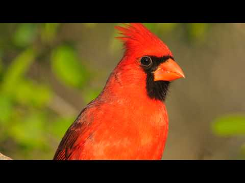 Northern Cardinal Song