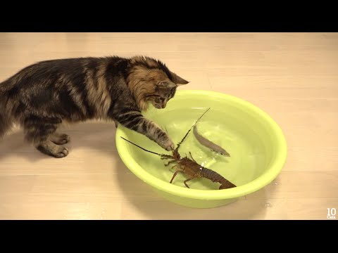Japanese spiny lobster vs Cat  猫vs伊勢海�