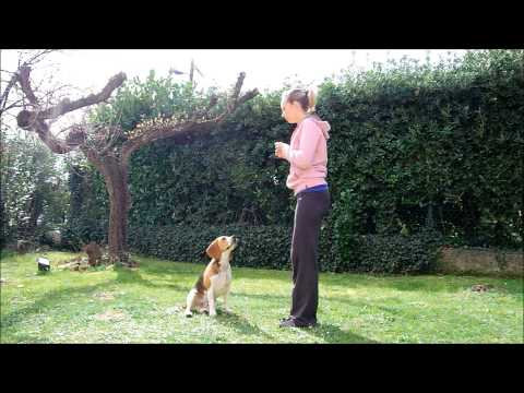 Beagle tricks – smart beagle doing plenty of dog tricks – clicker training