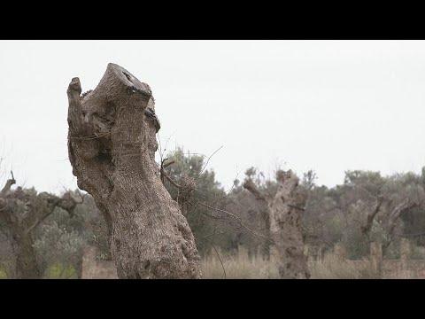 Xylella Fastidiosa: Το μικρόβιο που χτυπά τα ελαιόδεντρα στην Νότια Ιταλία…