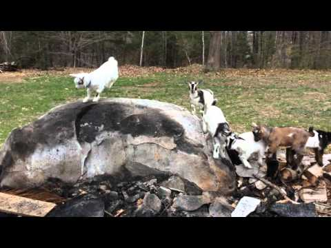 Goats play king of the hill