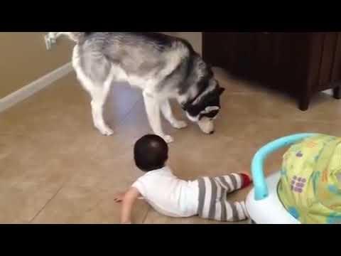 tenerissimo husky che gioca con un cucciolo umano