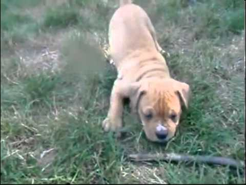 Olde English Bulldogge Male Puppy Fawn & White