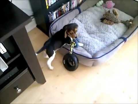 il-cucciolo-di-beagle-e-il-giocattolo-328