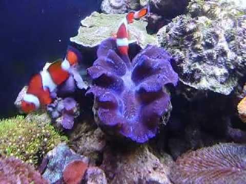 hairy clam