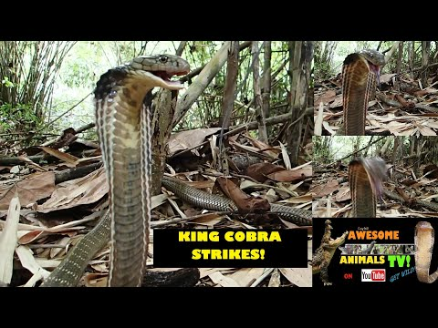 MONSTER KING COBRA STRIKES! # 4 Snake Dude on YouTube! Biggest VENOMOUS SNAKE! RAJA ULAR  किंग कोबरा