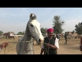 Marwari Horse and Mare for Sale Nagaur Cattle Fair - Rajasthan Tourism, India
