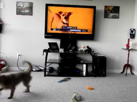 Lexie barking at the Chihuahua on TV