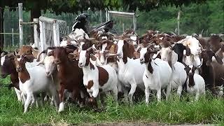 Video Kambing Gembala Loka Penelitian kambing Potong Sei. Putih MP3, 3GP, MP4, WEBM, AVI, FLV Januari 2019