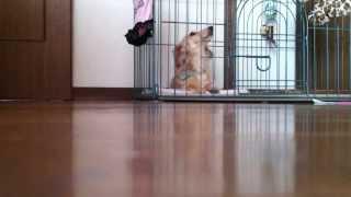 Singing Dog!