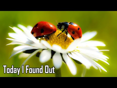 The Fascinating Reason Why Ladybugs are Called