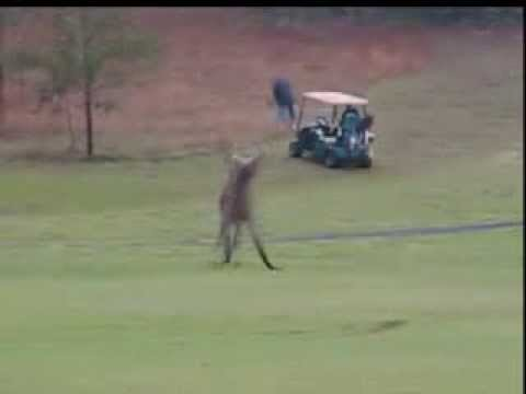 Kangaroos Boxing