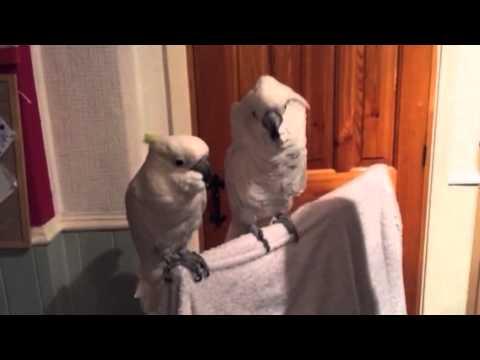 canta una canzone di presley: guardate il pappagallo come reagisce!