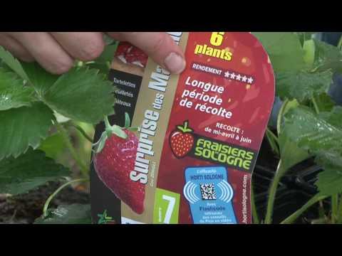 Les fraisiers, les conseils de plantation d'Horti Sologne