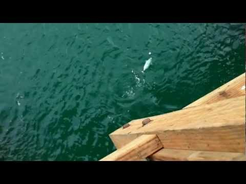 Bonito Off Panama City Beach Fishing Pier – FL 2012