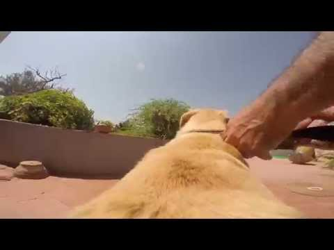 GoPro Dog – Take a ride on an excited labrador dog's back