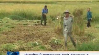 Nông Dân Khẩn Trương Thu Hoạch Lúa Hè Thu Chạy Lụt