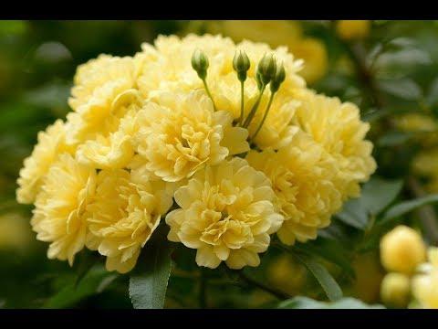 Top 10 beautiful flowers-Rose-Rose Flower-Beautiful Roses-Beautiful Rose Flowers PART 2