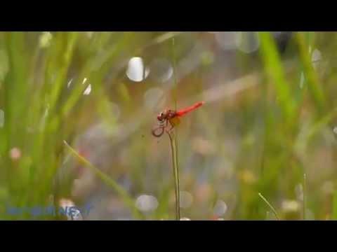 宝塚の湿原にハッチョウトンボ