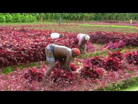 Besser als Reis: Spinat wird in Indien zum Trend