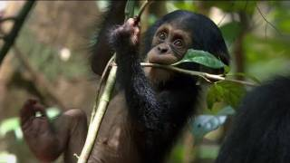 Nonton Chimpanzee Official Trailer Film Subtitle Indonesia Streaming Movie Download