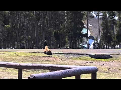 Yellowstone visitor caught petting A BISON!