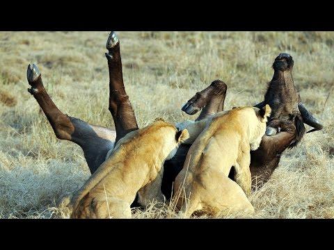 Epic Ambush - Lions Attack Buffalo - Duba Plains (видео)