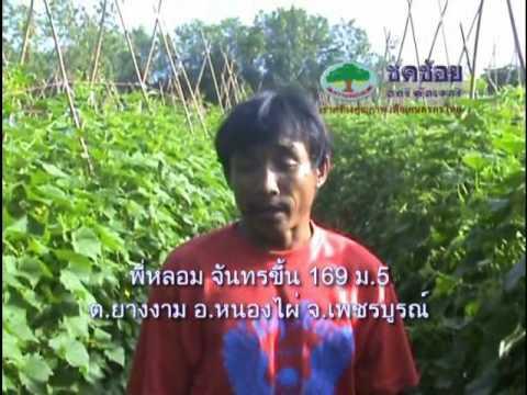 การปลูกแตง(Grown cucumber)