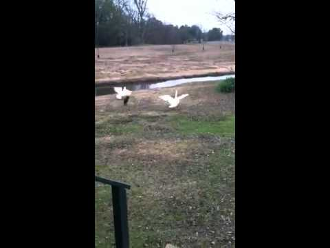 Chihuahua Chases Off Geese